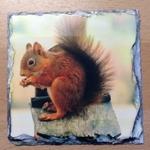 Picture of Red Squirrel (Sciurus vulgaris) Coaster