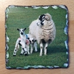 Picture of Sheep with lambs slate coaster