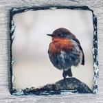Picture of Robin  (Erithacus rubecula) slate coaster